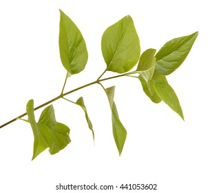 green lilac leaves. isolated on white background