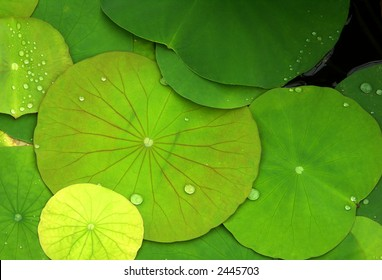Green lily pads with dew