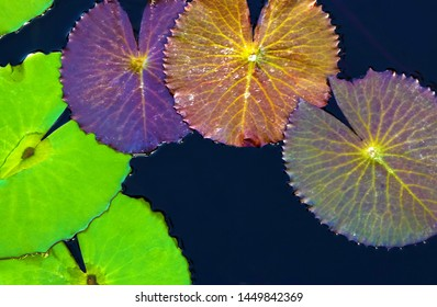 Green lily pads on pond