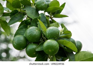 Green lime hanging on a tree