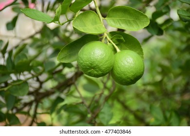 Green lime hanging from tree.
