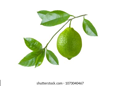 Green lime on a branch with leaves isolated on white background