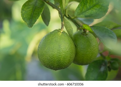 Green Lime on tree.