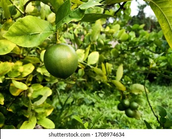 Green lime, lime tree, green lime hanging from the branches. Green limes on a tree. Organic food and organic farming concept.