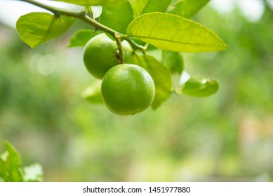 Green limes on a tree / Fresh lime citrus fruit high vitamin C in the garden farm agricultural with nature green blur background at summer