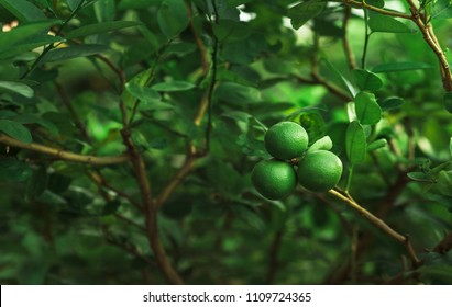 Green limes on a tree. Lime is Species same type citrus fruit and Lemon, containing Citric Acid (AHA : Alpha Hydroxy Acids) juice. Limes are excellent source of vitamin C.