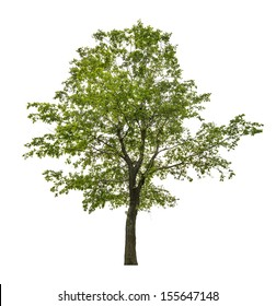 green linden tree isolated on white background