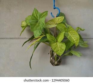 Green little tree green leave bottle on concrete background.Syngonium podophyllum or Syngonium podophyllum Emerald Emerald, Albo-virens, Araceae.
