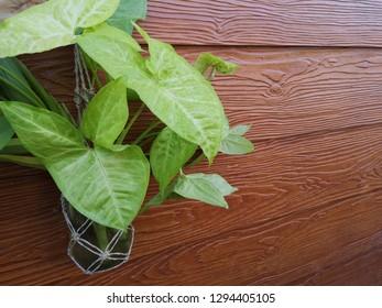 Green little tree green leave bottle on wood background.Syngonium podophyllum or Syngonium podophyllum Emerald Emerald, Albo-virens, Araceae.
