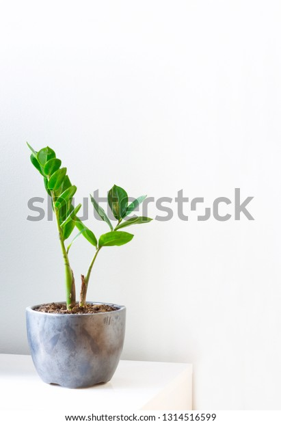 Green little Zamioculcas houseplant in the grey planter - Image