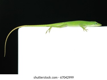 Green Lizard with Black and White Background