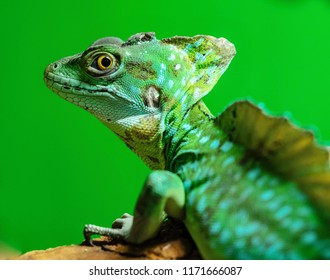 the green lizard a chameleon with corrugated skin closeup in the foreground on a green background to stand on paws and looks opened by an eye.