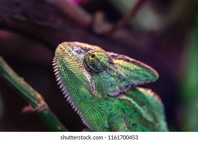 green lizard a chameleon with an open eye in the foreground and closeup