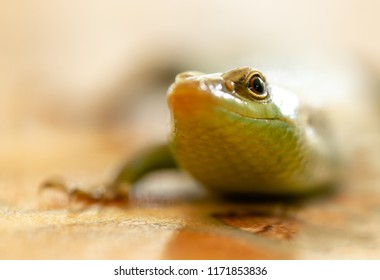 The green lizard, close-up
