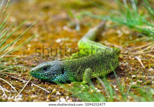 green-lizard-full-colors-natural-600w-10