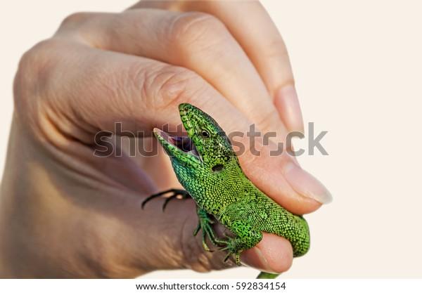 green-lizard-hands-wideopen-jaws-600w-59