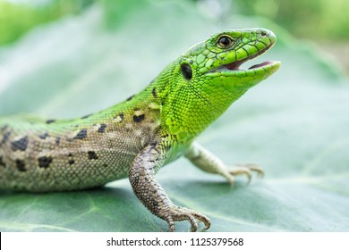 Green lizard (Lacerta agilis) sitting in the grass in garden