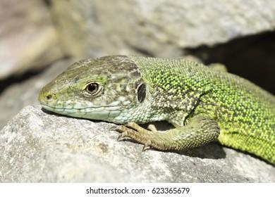 Green Lizard (Lacerta viridis) in natural habitat - close-up