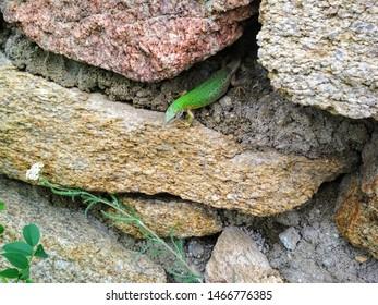 Green Lizard (Lacerta viridis), pregnant female, Czech republic, NP Podyji, June 24 2019