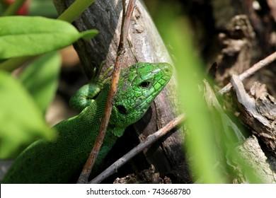 Green lizard in nature