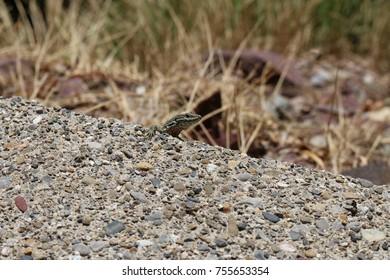 Green lizard in nature peeking through rocks and vegetation