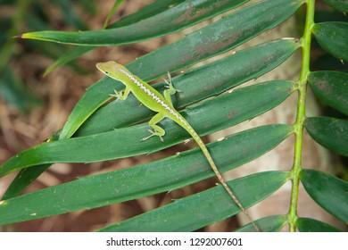 green lizard, nature, tropical leaves, travel, adventure vacation, Hawaii