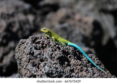 Green lizard on lava rocks, Conguillio National Park, Chile, South America