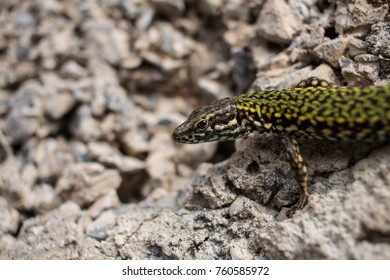 Green lizard on the stone wall
