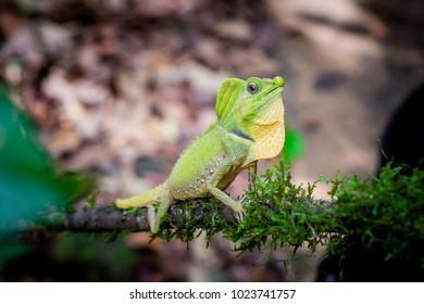 Green lizard on a tree. Beautiful closeup lizard reptile in the nature wildlife habitat, Sinharaja, Sri Lanka.