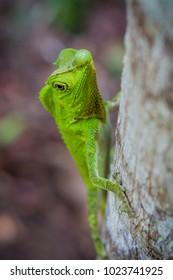 Green lizard on a tree. Beautiful closeup animal reptile lizard in the nature wildlife habitat, Sinharaja, Sri Lanka.