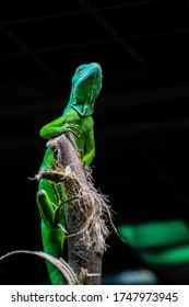 Green lizard perched on a branch on very dark background