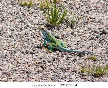 Green Lizard at Petrified Forest National Park