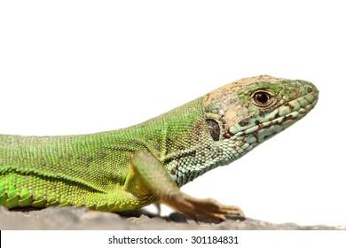 green lizard portrait ( Lacerta viridis ) isolated over white background