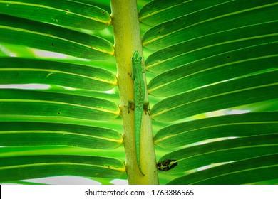 Un lagarto verde de las Seychelles sobre una hoja de palma