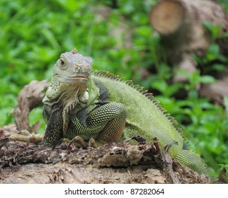 Green lizards