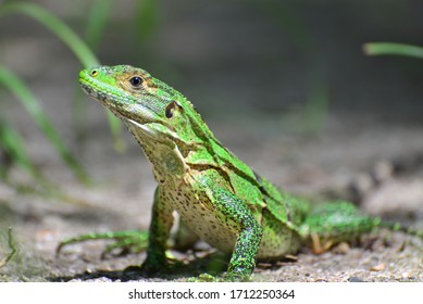 Green lizards are active during the day
