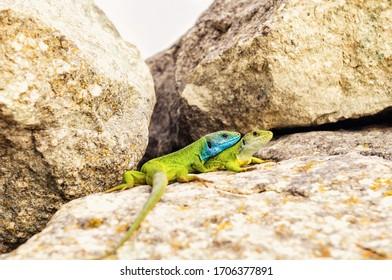Green lizards (Lacerta viridis) on stones