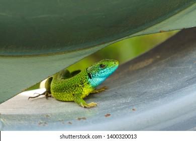 Green lizzard on car wheel watching