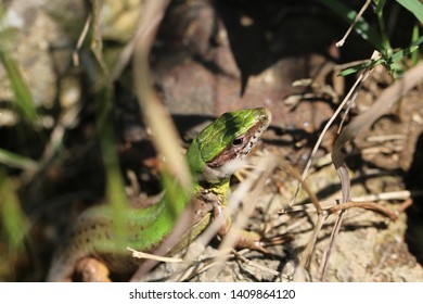 green lizzard resting between stones trying to warm up under sunlight