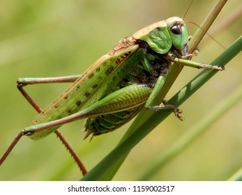 Green locust closeup