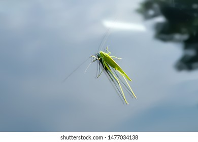 Green locust sits on a car glass. Environmental protection concept.