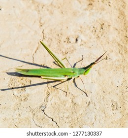 Green locust, wing insect. Pest of agricultural crops. Locusts on bare soil