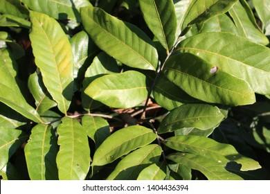 green longan leaf on the tree.