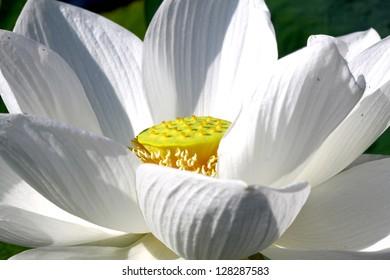 Green lotus flower flower buddhist stock photo royalty free green lotus flower flower of buddhist mightylinksfo