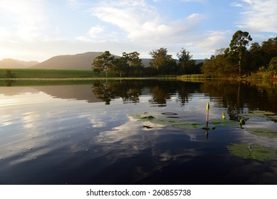 Green lotus leafs in the dam, Garden Route, South Africa
