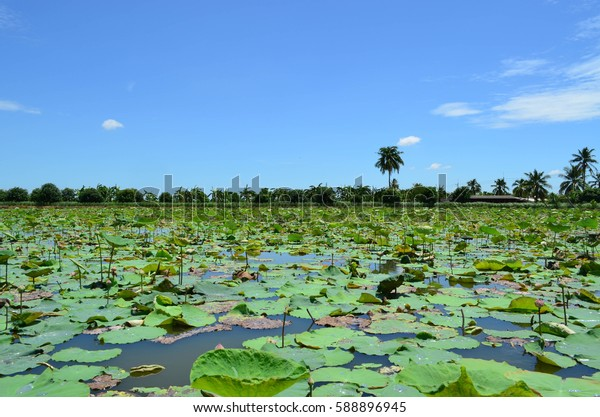 Green lotus pond against blue sky, agricultural concept