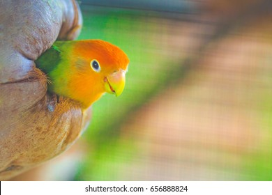 Green Lovebirds in coconut nest