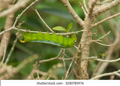 A green lunar caterpillar is eating leaves of a tree.