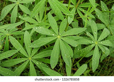 green lupine leaves covered with dew drops