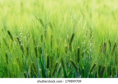 Green lush barley and flowering grass, background